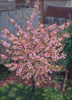 Prunus in bloei, Suikerbakkerssteeg, A'dam, olieverf, 55 x 40 cm, 5/2013, huile, Amsterdam